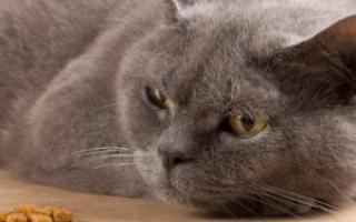 Кормление кота после отравления