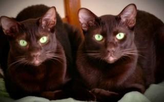 Кошка гавана браун – Наши лапки