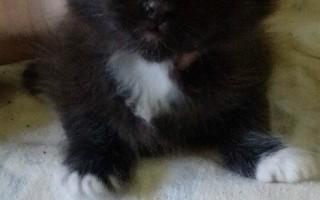 Эклампсия у кошки – симптомы, лечение и профилактика