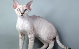 Подробное описание кошек породы немецкий рекс