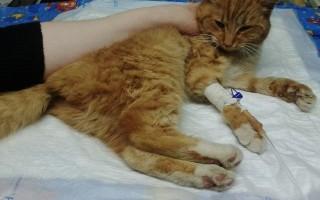Вывих локтевого сустава у кошки симптомы терапия