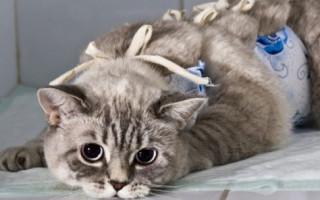 Чем кормить кошку после стерилизации в домашних условиях: питание и корм