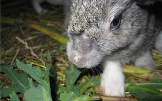 Почему кролик декоративный сильно линяет