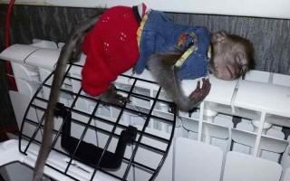 Содержание обезьяны дома